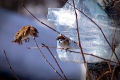 Sparrows Stock Photos