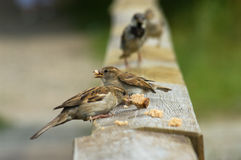 Sparrows. Photos of wild sparrows in nature. Feeding Stock Photography