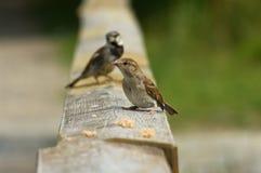 Sparrows. Photos of wild sparrows in nature. Feeding Royalty Free Stock Photos