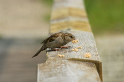Sparrows. Photos of wild sparrows in nature. Feeding Stock Image