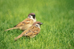 Sparrows Stock Images