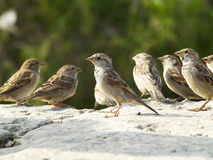 Sparrows Stock Photography
