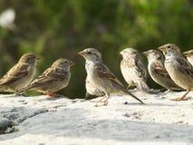 sparrows Arkivbild