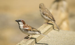 sparrows Royaltyfri Foto