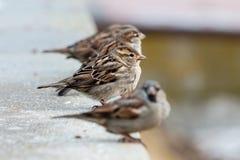 sparrows Stock Afbeeldingen