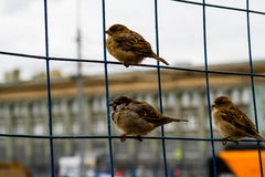 sparrows Arkivbilder
