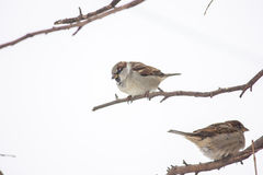 sparrows Fotografering för Bildbyråer