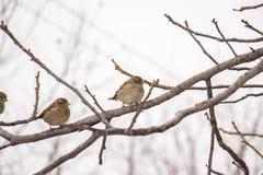 sparrows Royaltyfria Bilder