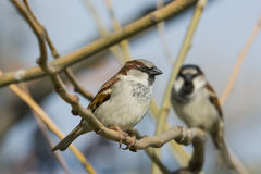 sparrows Royaltyfria Foton