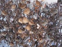 sparrows Arkivfoton