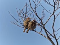 sparrows Royalty-vrije Stock Afbeelding