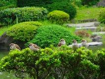 Sparrows Stock Photo