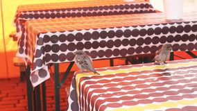 Sparrows arrive in a street cafe. Sparrows English sparrow, Passer domesticus arrive in a street cafe in search of crumbs and jump on the tables stock footage