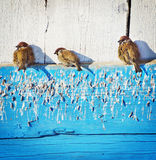 Sparrows bask under the sun. Three sparrows bask under the sun Royalty Free Stock Photo
