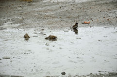 Sparrows bathe in a cold pool of ice. Spring. Three sparrows bathe in a cold pool of ice. Spring royalty free stock photo