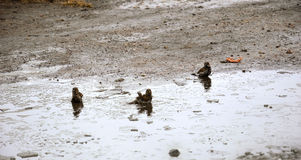 Sparrows bathe in a cold pool of ice. Spring. Three sparrows bathe in a cold pool of ice. Spring stock photography