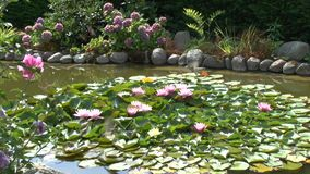 Sparrows bathe in the garden pond on water lilies. Sparrows bathe in the garden pond on lily pads stock video footage