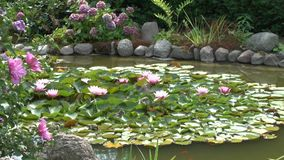 Sparrows bathe in the garden pond on water lilies. Sparrows bathe in the garden pond on lily pads stock footage