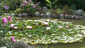 Sparrows bathe in the garden pond on water lilies. Sparrows bathe in the garden pond on lily pads stock video