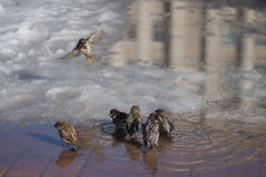 Sparrows bathe. Sparrows bathe in a pool of spring Stock Images