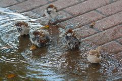 Sparrows bathe in a puddle in the heat. Birds Stock Images
