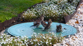 Sparrows bathe in the sewer manhole in city stock footage