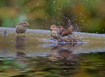 Sparrows Bathing Stock Photo