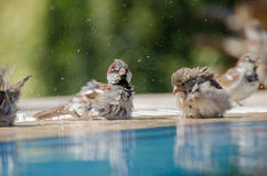 Sparrows Bathing Royalty Free Stock Photo