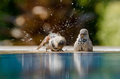 Sparrows Bathing Stock Image
