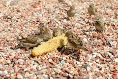 Sparrows on the beach eat the remains of corn stock photography
