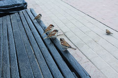 Sparrows on a bench. Sparrows rest on a Park bench Stock Photo