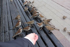 Sparrows on a bench. Sparrows rest on a Park bench Stock Image