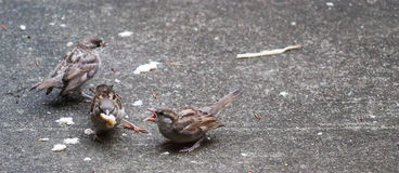 Sparrows Big Bread. Baby Sparrows being fed big piece of bread on the ground stock image