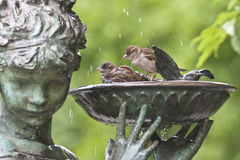 Sparrows in bird bath. Sparrows playing and drinking in bird bath Royalty Free Stock Images