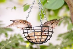Sparrows at a bird feeder Royalty Free Stock Images