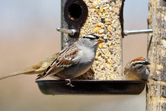 Sparrows at bird feeder. White-crowned sparrow, Zonotrichia leucophrys and chipping sparrow, Spizella passerina, sharing a bird feeder Royalty Free Stock Images