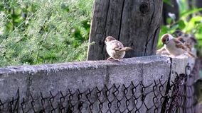 Sparrows birds living nature summer. Video of sparrows birds living nature summer stock video