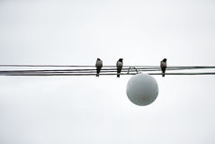 Sparrows Birds sit on wires power Stock Image