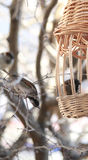 Sparrows boarded at the trough. Sparrows eating from a trough beautiful wicker Royalty Free Stock Photos