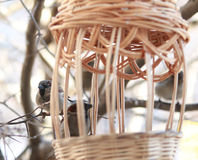 Sparrows boarded at the trough. Sparrows eating from a trough beautiful wicker Stock Photography