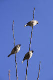Sparrows on branch. Es on blue sky background Royalty Free Stock Image