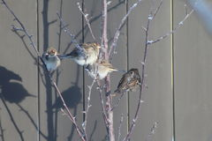 Sparrows On A Branch Stock Photography