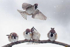 Sparrows on a branch in winter Stock Photos