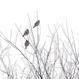 Sparrows on branches in winter Stock Image