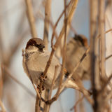 Sparrows on bush branches Royalty Free Stock Image