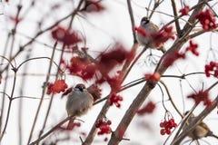 Sparrows on a bush viburnum on a winter day Stock Photos