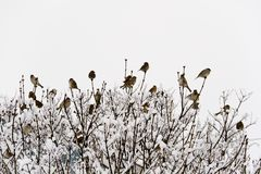 Sparrows in bushes Royalty Free Stock Images
