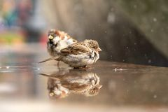 Two sparrows are sitting by the fountain among the spray of water royalty free stock photography