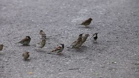 Sparrows. City sparrows shallow depth of field stock video