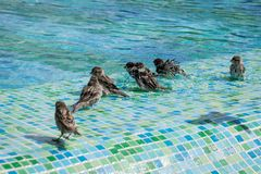 Flock of sparrows bathing in the shallow end of a swimming pool stock images